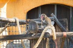 japansk macaque Macacafuscataen behandla som ett barn i Moskvazoo royaltyfria bilder