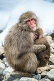 Japansk macaque med en gröngöling i kallt vinterväder Jigokudani parkerar Nagano Japan Det vetenskapliga namnet för japansk macaq arkivbilder
