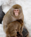 Japansk macaque med gröngölingen Royaltyfria Bilder