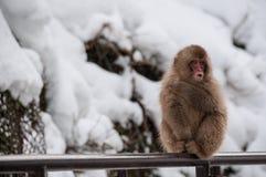 Japansk macaque på räcke i Japan Fotografering för Bildbyråer