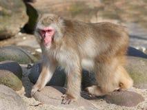 Japansk macaque & x28; Macacafuscata& x29; Royaltyfri Foto