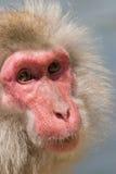 japansk macaqueapa royaltyfri fotografi