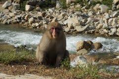 Japansk macaquesnöapa vid floden Arkivbild