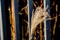 Japansk pampasgräs i nedgång 1 royaltyfri bild