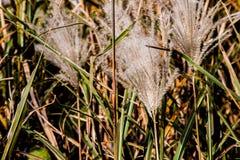 Japansk pampasgräs i nedgång 2 arkivbilder