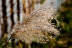 Japansk pampasgräs i nedgång 5 royaltyfri foto