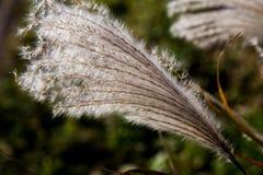 Japansk pampasgräs i nedgång 3 arkivbilder