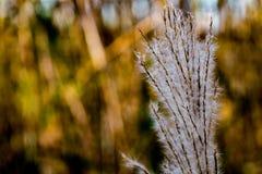 Japansk pampasgräs i nedgång 8 royaltyfri foto