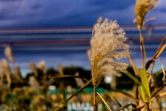 Japansk pampasgräs i nedgång mot en mörk aftonhimmel fotografering för bildbyråer