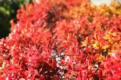 japansk sakura för Cherry tree royaltyfri fotografi