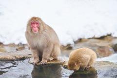 Japansk snö härmar att ansa i den japanska macaquen för den varma pölen, den Jigokudani apan parkerar, Nagano, snöapa Arkivfoto