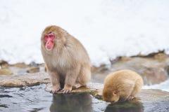 Japansk snö härmar att ansa i den japanska macaquen för den varma pölen, den Jigokudani apan parkerar, Nagano, snöapa Arkivbilder