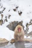 Japansk snö härmar att ansa i den japanska macaquen för den varma pölen, den Jigokudani apan parkerar, Nagano, snöapa Arkivbild