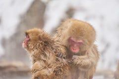 Japansk snö härmar att ansa i den japanska macaquen för den varma pölen, den Jigokudani apan parkerar, Nagano, snöapa Fotografering för Bildbyråer