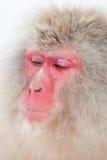 Japansk snowapa Fotografering för Bildbyråer
