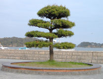 japansk tree Arkivfoton