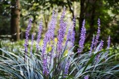 Japansk violett lilyturf i ört graden, Nara, Japan Arkivfoton