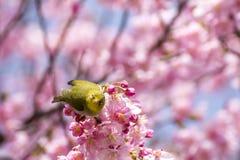 Japansk vit-öga fågel Fotografering för Bildbyråer