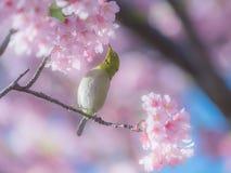 Japansk Vit-öga fågel i de körsbärsröda blomningarna fotografering för bildbyråer