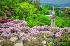 Japansk wisteriafestival under vårtid Royaltyfria Bilder