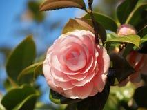 Japanska Camellia Flower arkivbilder