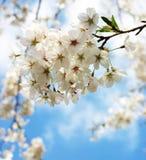 japanska Cherry 1 Royaltyfria Bilder