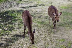 Japanska hjortar Arkivbilder