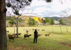 Japanska hjortar som spelar på Nara Park arkivfoton