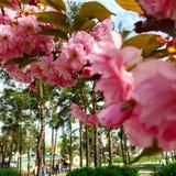 Japanska körsbärsröda blomningar i parkera Royaltyfri Bild