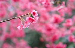 Japanska körsbärsröda rosa sakura blommor Royaltyfria Bilder