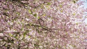 Japanska körsbärsröda träd - blomstra blad som flyger i vind