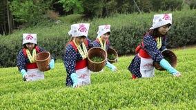 Japanska kvinnaplockningteblad på jordbruksmark arkivfilmer