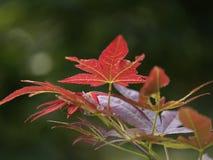 Japanska lönnlöv Royaltyfria Bilder