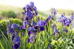 Japanska liljor Royaltyfri Foto
