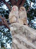 Japanska macaqueapor i Japan Royaltyfria Foton