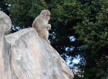 Japanska macaqueapor i Japan Royaltyfri Foto