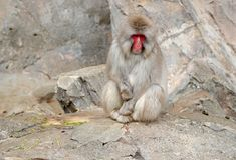 Japanska macaqueapor i Japan Fotografering för Bildbyråer