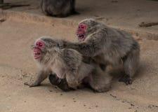 Japanska Macaqueapor slåss på en dammig väg i Kyoto, Japan Royaltyfria Bilder