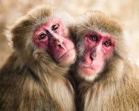 Japanska Macaquepar Royaltyfri Bild