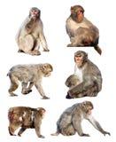 Japanska macaques över vit Arkivbilder