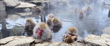Japanska Macaques Arkivfoton