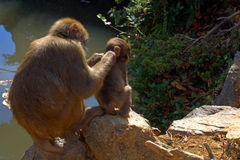 Japanska Macaques Arkivbild