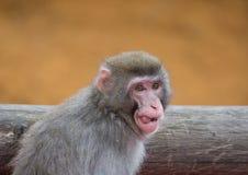 Japanska Macaques Royaltyfria Foton