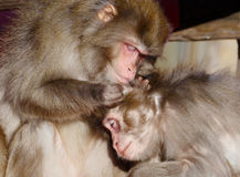 Japanska Macaques Arkivfoto