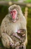 Japanska macaques, apa med behandla som ett barn Fotografering för Bildbyråer