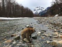 Japanska macaques i den Kamikochi nationalparken Arkivfoton