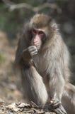 Japanska macaques på den Iwatayama apan parkerar Royaltyfri Bild