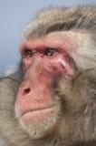 Japanska macaques på den Iwatayama apan parkerar Arkivbild