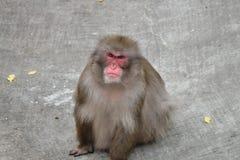 Japanska macaques på zoo Arkivbild