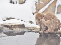 Japanska macaques snöar apan på den Jigokudani apan parkerar i den Nagano prefekturen, Japan Arkivbilder
